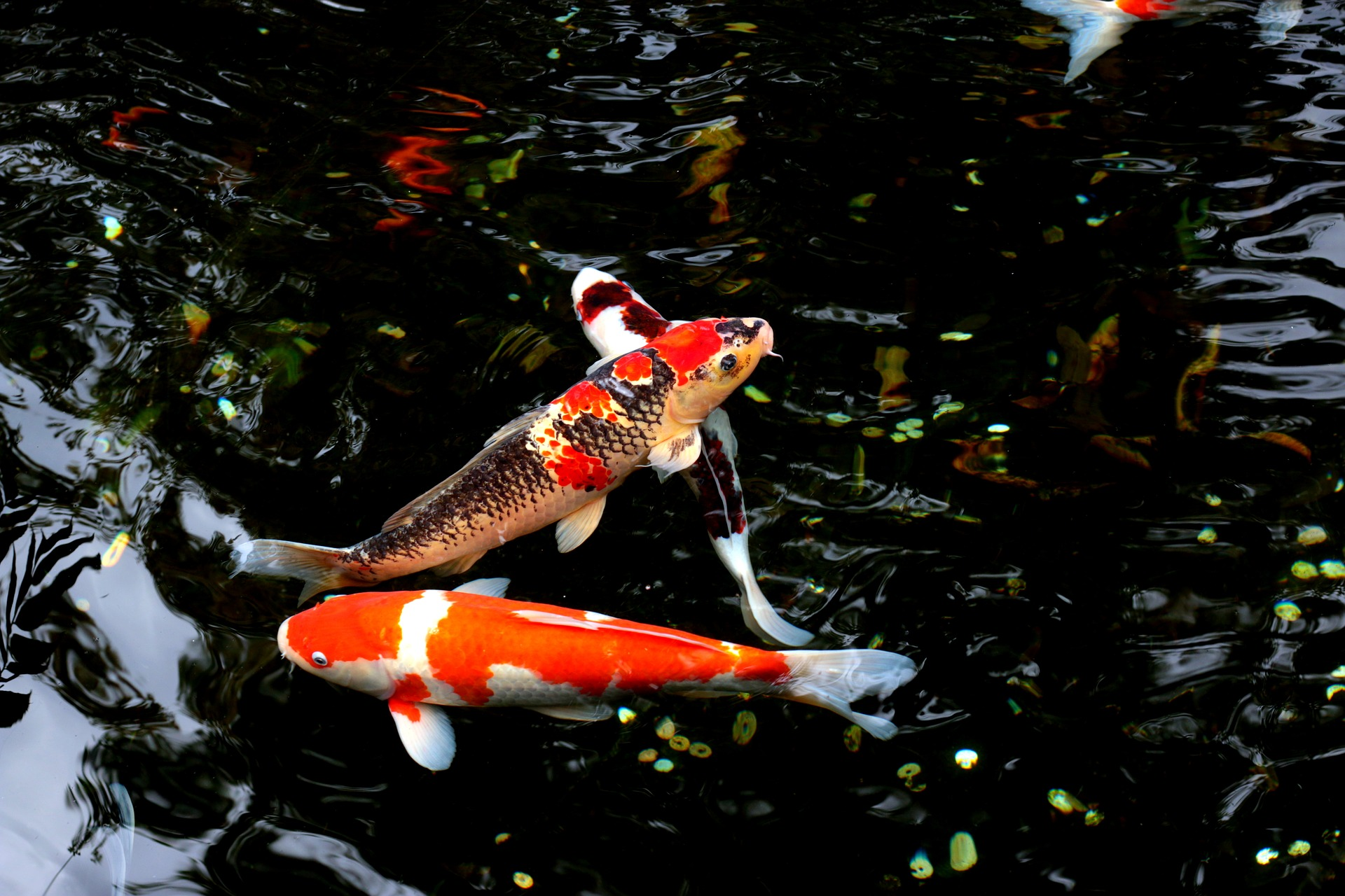 Althea Feng Shui water-pond-fishes